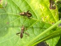 枝豆の葉の上にいるこの虫は何という虫でしょうか? 枝豆の害虫ですか?