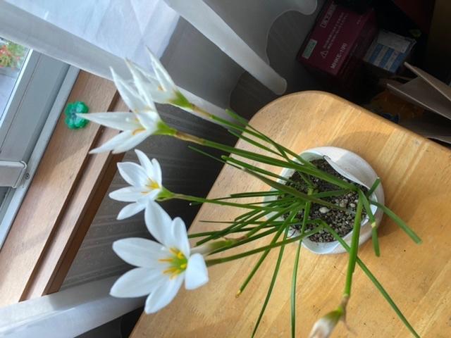 タマスダレの茎は、花が咲いているのと咲いてないのがあります。 現状花が咲いてない茎は待っていても咲きませんか? 花は咲いてなくて先が茶色の茎がありますが、これはこれから咲く茎ですか?