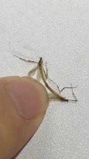 これは蚊ですか? 交尾中ってことですか!?