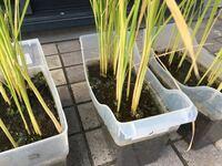うちのバケツ稲なのですが、暑くて水が緑色になってしまいました。どうしたら良いでしょうか? とりあえず水を抜いてあります。稲が実ってきました。 稲の茎の根本が緑色の藻というか泡がついています。 お分かりになる方、教えていただけたら嬉しく思います。