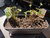 ミントを1週間前にプランターに植えたのですが、なんだか元気がありません。 どうやったら葉っぱを増やすことができますか?  ちなみに買ってすぐ、何枚か摘んで料理などに使ってしまいました。