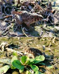 こちらのカエルは何ガエルでしょうか?川原(河川敷)にいたので写真を撮りました。トノサマガエルかと思って調べてみたのですが少し違うような気がしてきました 大きさは3~4cmぐらいで小さかったです。 ※上下とも同じカエル(別の方向から撮ったもの)です。