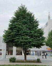 庭木にカツラの木を植えたいと思います。理由として、季節感がある、軽やかしいかわいいハートの葉っぱ、洋風の木というところが気に入りました。 しかし、ネットで調べると街の街路樹などに使用され物凄く大木にな るのではと不安です。近所で見るのはそこまで大木ではないように見えます。実際のところはどうでしょう、管理は大変でしょうか?やはり、数十年先は大木になりますか? 似たようなハートの葉っぱの低木でマ...