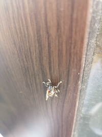 昆虫について質問です。 玄関に頭がない謎の昆虫がいました。 頭があるはずの部分には黒く丸いボールみたいなものがあります。 わかる方教えてください。