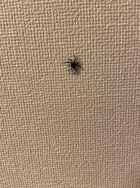 蜘蛛について質問です。 写真のような蜘蛛がかれこれ1週間ほど家にいます。 蜘蛛はハエやゴキブリなどの虫を食べてくれる益虫だと聞いたことがあるのでそのままにしてるのですが、この蜘蛛だけ1週間ずっといます。 そのままにしといても大丈夫ですか? それとも捕まえた方がいいのでしょうか。