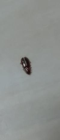 ゴキブリの赤ちゃんでしょうか?※虫画像有り 2mm程で、触角のようなものがあり、死骸、もしくは抜け殻?です。肉眼では頭の方が尖っているように見えました。 昨日と今日で2匹見つけました。2年住んでいて恐らく、初めてです。荷物を動かした時下敷きになっていたのを昨日見つけて捨てましたが、今日そこから少しだけ離れた何も置いていないところにまた1匹です。 築浅のマンション8階以上ですが、思い当たるのは...