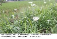 この植物は何ですか? ニラに見えますが、ニラに似た毒のある植物だと心配です。  場所 千葉県 道路際 農道? 日時 2021年9月4日