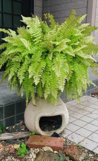 ネフロレピスの植えかえについて 家に迎えて二年になります だいぶ大きくなってきたのですが、植えかえをしたほうがいいですか? 鉢は、一年半前に植え替えました。 また、植え替える場合はどーやってすればいいですか?  よろしくお願いします