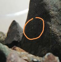 至急おねがいします! この白い虫はなんですか? サワガニの水槽に大量発生しています。 大きさはだいたい1mmくらいで、 ガラス面にへばりついています。 この虫の名前と、駆除の仕方を おしえてください! 分かる方よろしくおねがいします。