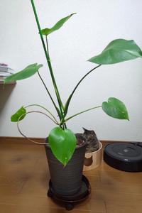 昨年の3月にモンステラを育て始めました。 室内の日が届く場所で育てています。 だいぶ大きくなりましたが、茎がなかなか太くならず、葉も割れません。 切り戻しと、日光に当てるのとどちらが有効でしょうか。
