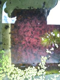 メダカの水底を赤玉土で飼育していますが、気が付いたら底面がピンク色の物が付着しています。庭外で飼育していますがほかの水槽はなっていません。まだ2週間ほど前に入れ替えしたばかりです。 このピンク色は何でしょうか。また当然ながら掃除した方がいいでしょうか。