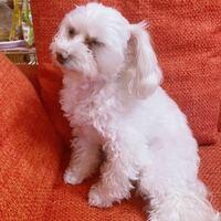 マルプー4歳の愛犬を飼ってます。 これからトイプードルみたいに茶色くなることはありますか?