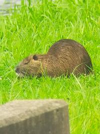 家の近くの池でこのような動物に遭遇しました。これがなんの動物か知りたいです。 カピバラ?ビーバー?のようなかんじですがサイズ的にも40〜50センチ程度で ずっと草を食べて水の中もスイスイ泳いでいます。 カピバラにしては小さいような、、、 だれかわかる方!お願いシマス!