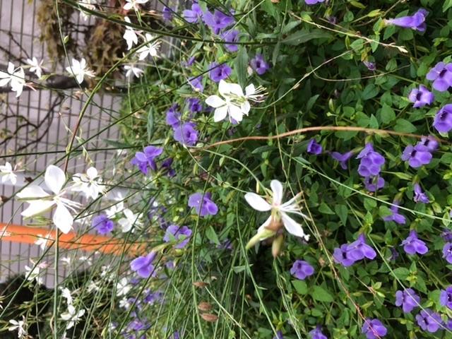 この白い花と紫色の花は何ですか?