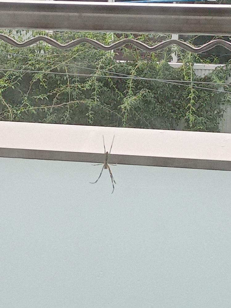 この蜘蛛は何でしょうか? バルコニーに巣を作っているので、アシダカグモでは無いと思われます。 また毒は持っているのでしょうか? 宜しくお願いします。