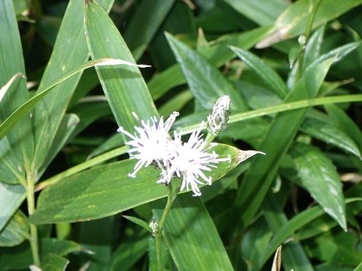 ②阿蘇北外輪山鞍岳周辺で見ました。次の花の名を教えてください。