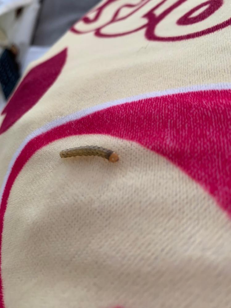 先週から茶色い小さい芋虫が部屋に4〜5匹出ました。 かぶれたり、刺されたりと実害は無いのですが、種類が気になります。 虫博士の方、お力を貸して下さい。 この何という虫さんでしょうか? 住まいは東京です!