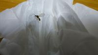 羽のついた蟻っぽい虫が今日沢山部屋にいるんですがこれは何の虫ですか?ググってみると羽蟻とは違う気もしますが 夕方網戸にして窓は開けてましたがこんなに急に出てくるなんて?もう10匹は潰したと思います。何か原因とかありますか?ゴミを溜めてるとかはないんですが。 宜しくお願いします。
