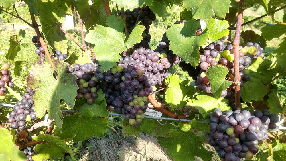 北海道でワイン用ぶどうツバイゲルトレーベを200r管理しています。植えて4年目の樹、約30r部分が収穫まで後一ヶ月なのに色が紫色です。何が原因でしょうか?芽の立て過ぎですか? 残り一ヶ月で色は付...