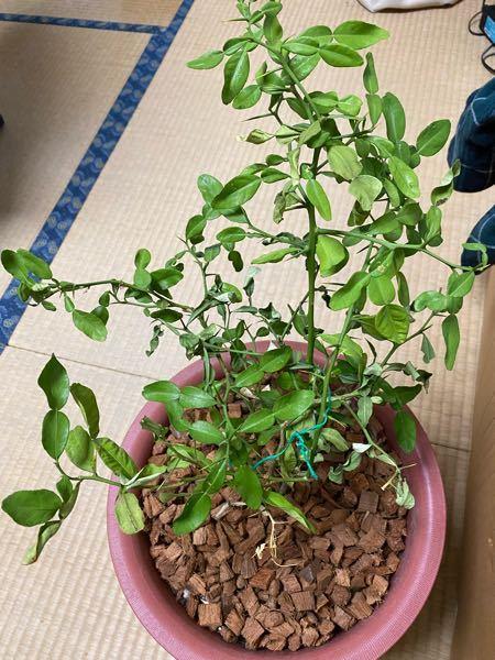 コブミカンの木が弱っています。 何か手はありませんか?買ってからプランターにうつして数ヶ月経つのに根がぐらつきます。 水はたまにやっています。 今から別の土に植え替えたら更に弱りそうです。