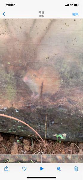 このネズミの種類分かりますか??(写真見ずらくてごめんなさい) 毛色はオレンジと白でした。 我が家のビニールハウスにいました。 今まで見たネズミとは違いハムスター感あってとても可愛かったので気になりました!