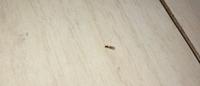【虫の画像あり】 家の中に急に小さいアリ?羽蟻?が発生しました。これは何アリなのでしょうか。 まだ10匹ちょっとしか見つけていないのですが何か対策しなければならないのでしょうか。築10年のアパートに住んでいます。