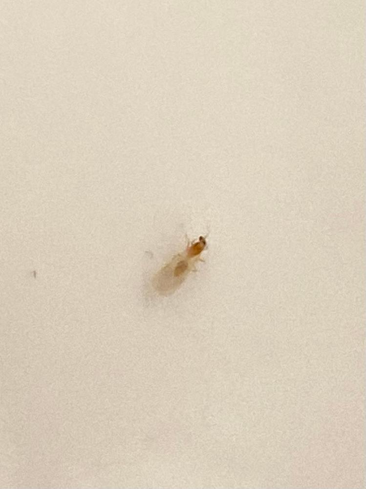 【急ぎで回答が欲しいです】 画質が悪くてすみません。 この羽蟻は何という種類の羽蟻でしょうか? 白い壁に複数匹ついていて気持ち悪いので、何という種類の羽蟻かを知って早めに駆除(対策)したいです。 羽蟻の大きさ•••2mm程度 色•••茶色っぽい 新築のアパートなのですが、 木の状態も関係しているのでしょうか。