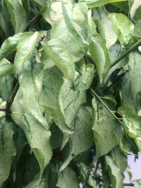 梅の葉が写真のように枯れてしまいました。 すごく小さな薄緑の飛虫がたくさんいます。 枝は見た目は元気そうです。 農薬を散布したほうがよいでしょうか。 もうすぐ寒くなってきますし、このまま落葉させて虫がいなくなるのを待ったほうが良いでしょうか… 詳しい方、どうぞ教えてください。 よろしくお願いします!