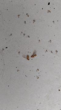 昨日、羽アリが大量発生しました。 このアリはなんだろうと検索をしたんですが、うまくヒットしませんでした。 分かる方、教えていただけたら嬉しいです。