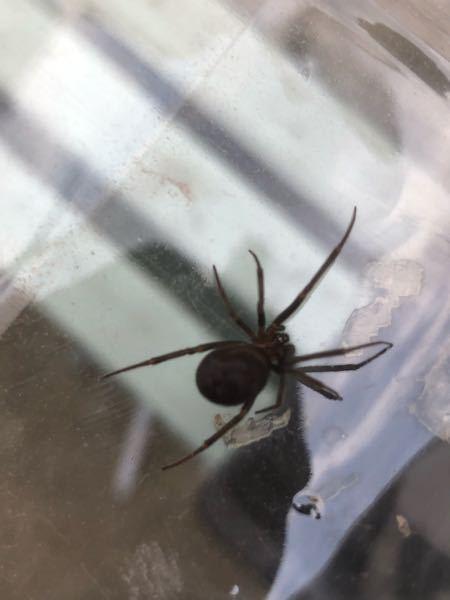 これはゴケグモですか? 家の玄関前にいました。