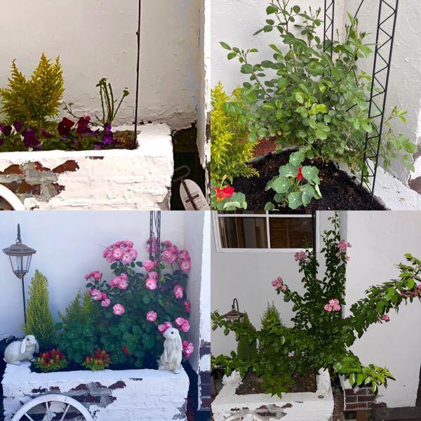 植物に関してはど素人です。 今年の春に芽吹いたバラが2度目の花が咲きました。 1度目よりも花が少ないです。 何故でしょうか?栄養が足りなかったのですか? 現在写真の右下の状態ですが剪定とか必要な事はありますか? いずれ壁に這わせてアーチを作ってみたいです。 よろしくお願い致します。