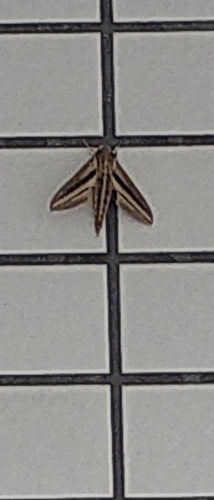 この昆虫の名前を教えて下さい。 体長は3〜4cmくらいです。
