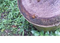 キイロスズメバチの死体に群がる小さな昆虫の名前を教えてください。 体長 15mm 羽に柄があります。 キイロスズメバチはまだ生きています。 小さめの昆虫が長い口吻を差し入れているようです。