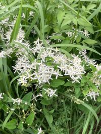 この白い花の名前分かる方いますか?