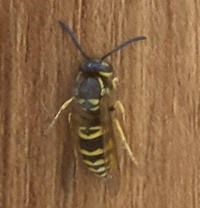 蜂の種類について質問させて下さい。 現在アメリカに住んでおり、家の周りに写真の蜂を良く見かけますが、種類が分かりません。大きさは15-20mmほどです。 よろしくお願いします。