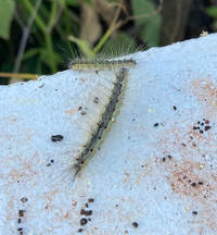 うちの職場の塀と近くの木に毛虫が大発生しています。 これは何という蛾の幼虫なのでしょうか?(私はマイマイガかと思いましたが) また、駆除する方法はどのような手がありますか? 場所は北海道函館市です。  よろしくお願い申し上げます。