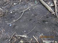 イノシシの足跡ですか? 岐阜県米田白山で、米田白山にイノシシが生息してます、 撮影20210914
