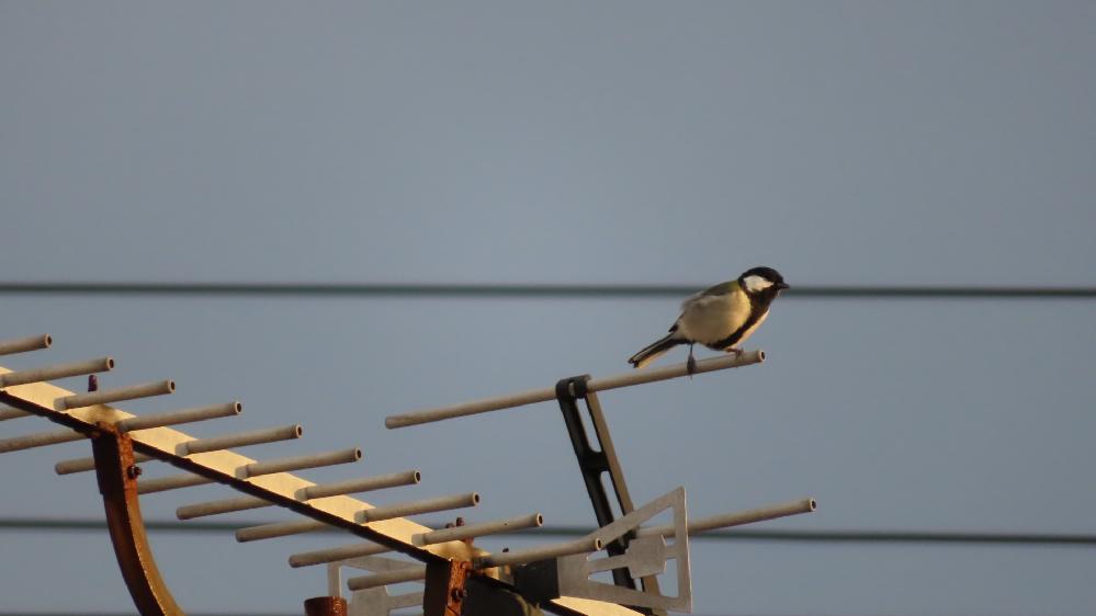 とてもかわいい声で鳴くのですがこれは何と言う鳥ですか?
