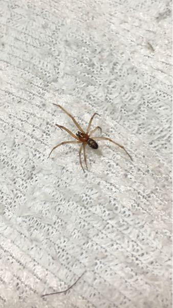 脚を広げて2〜3cm(もしかしたら4cnかも?)ほどです。何というクモでしょうか? 胸が赤みがかっていました。