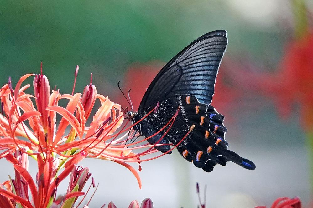このアゲハ蝶の名前をご存じの方、教えてください。