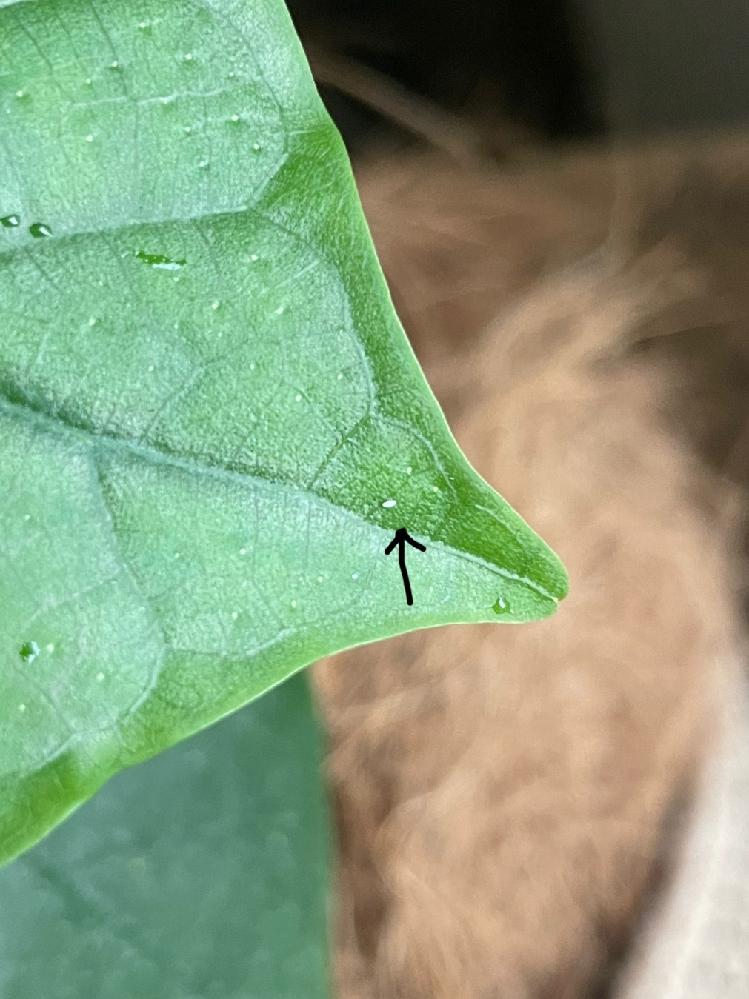 ウンベラータを室内で育てていますが、葉っぱに小さい白い粒があるのをたまに見かけます。 これはなんでしょうか?虫でしょうか? 霧吹きで葉水をした後にキッチンペーパーで軽く拭き取っているのでキッチン...