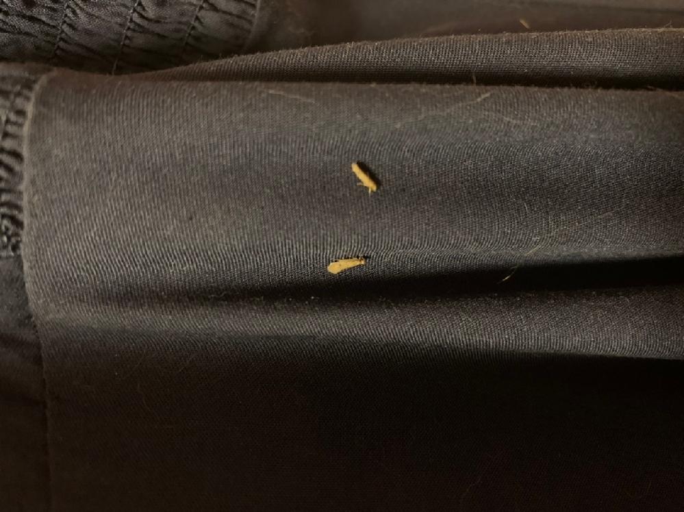 これはなんていう虫ですか? 最近部屋に発生してて困ってます。