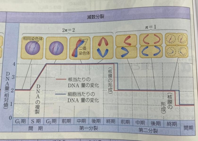 生物基礎 減数分裂を教えてください。 このグラフの左端のDNA量と右端のDNA量が一致していない理由がわかりません。 このままでは、DNA量は半減し続けて、なくなってしまうのではないですか?