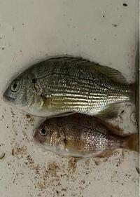 砂浜でちょい投げ釣りしてたら釣れました。 この2匹はなんという魚ですか?