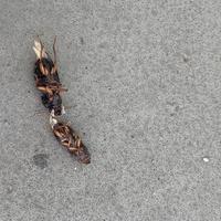 アパートの廊下に、ある日突然大量の虫の死骸。小さいもので8ミリくらい、大きいもので2センチくらい? この虫は何ですか?