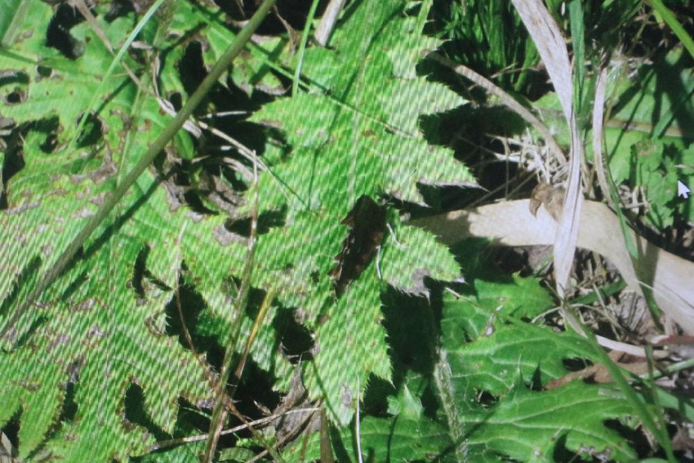 この蝶はキタテハですか、それともシータテハですか? 長野県の北の方にある山の中で見つけました。