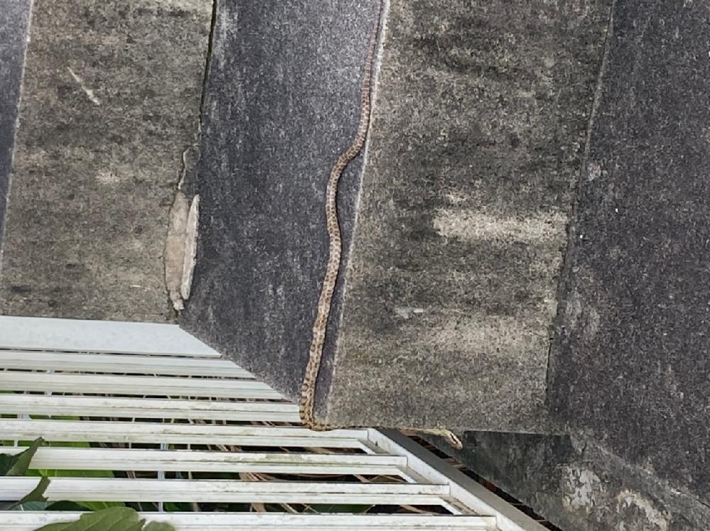 今朝見かけました。 この蛇の名前を教えていただきたいです! 近寄れず遠くからズームで撮ったので画質が荒くてすみません。