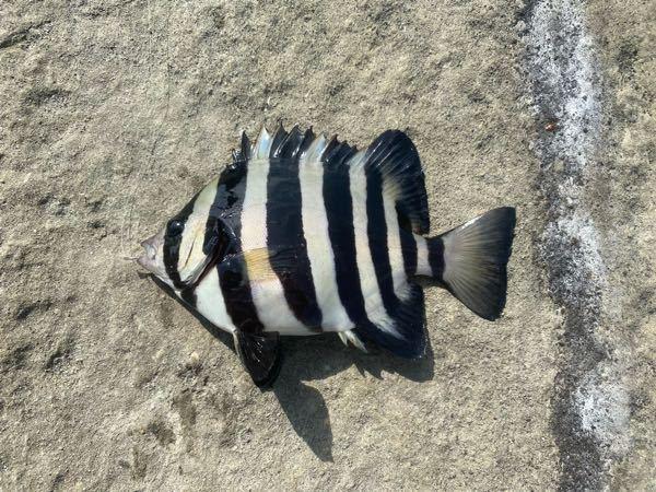 これはもしかしてイシダイですか? 磯で釣れました。宜しくお願いします