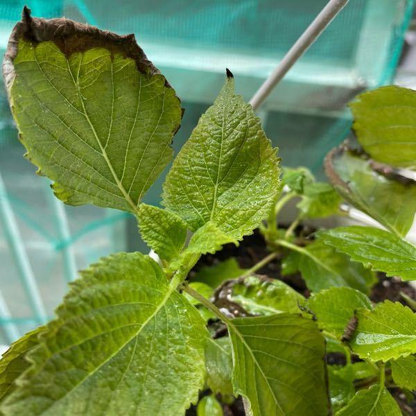 大葉です。 全く育たず?枯れ始めました…鉢植えでは無理なんですか? 庭で去年の種から育って増えたという苗?を三ついただきました。育ち具合にばらつきがあるものを三ついただき、空中鉢植え?ぶら下げ式の鉢植えに入れて、野菜用の日清の土を入れました。 どなたか教えてください。