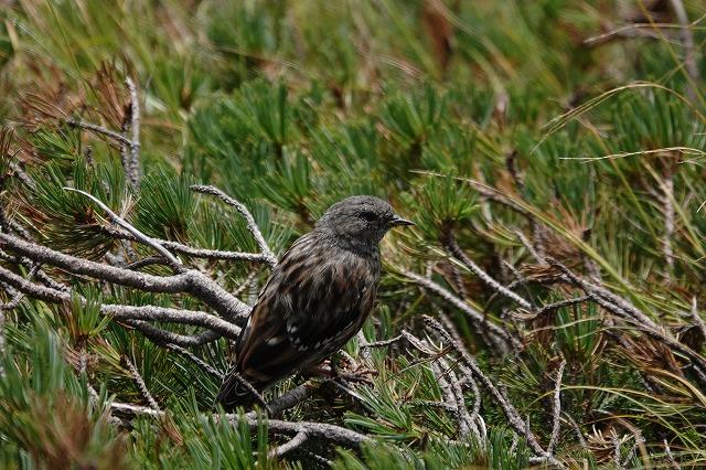乗鞍岳で見た鳥です。 小さくてまだ子供の鳥らしい感じでした。 名前を教えて下さい。 宜しくお願いします。